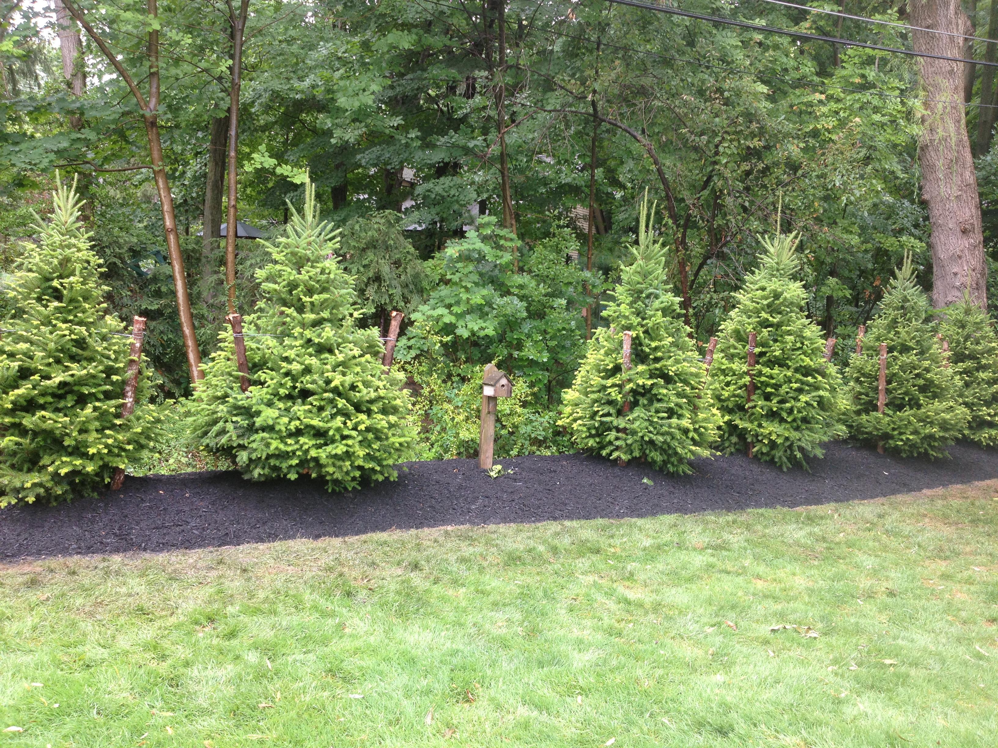 Tree Install Evergreen Berme