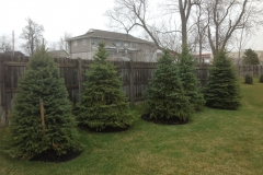 Tree Install Evergreens