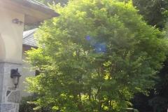 Side Yard Tree