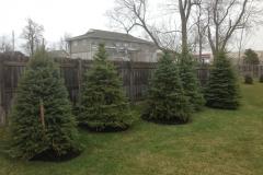 Tree Install Evergreens