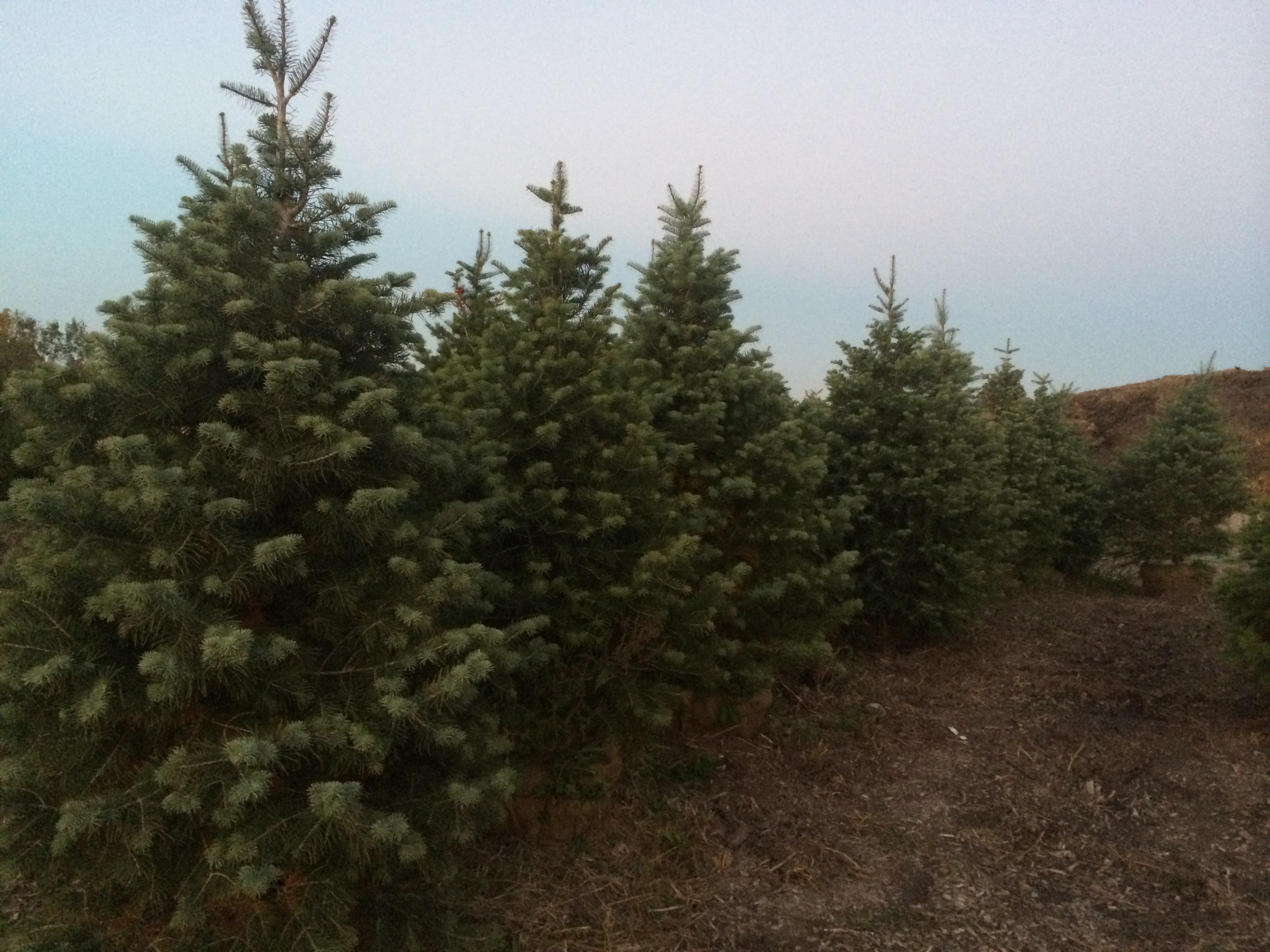 Row of Evergreens