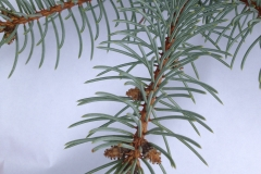 Evergreen Pine Needles